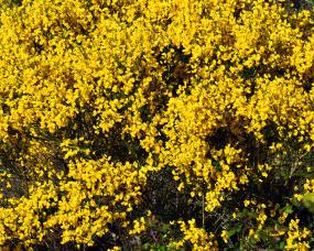 Giestas amarelas
