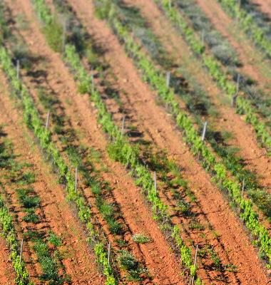 Terra riscada de vinhas