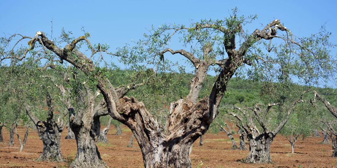 Velho olival