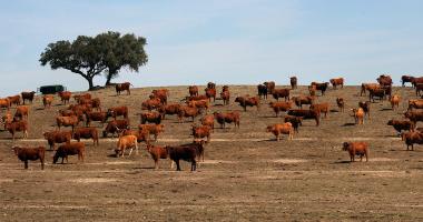 Vacas nos campos