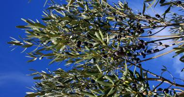 Vegetação autóctone: azeitonas nas oliveiras