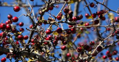 Vegetação autóctone: Pilriteiro