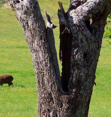 Ovelhas e castanheiro