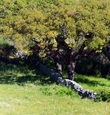 Quercus entre muros