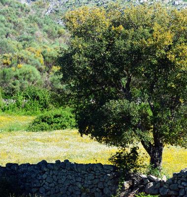 Quercus junto a um murete