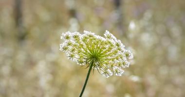 Flor branca silvestre (Apiales)
