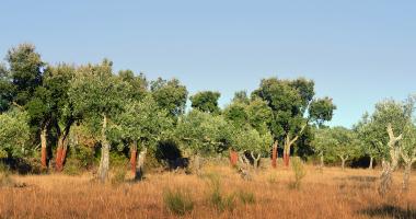 Azinheiras e oliveiras de Albarrol