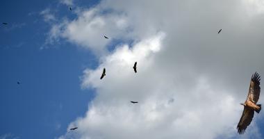Abutres no Tejo