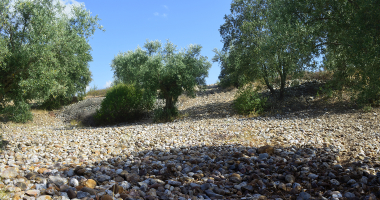 Oliveiras e pedras