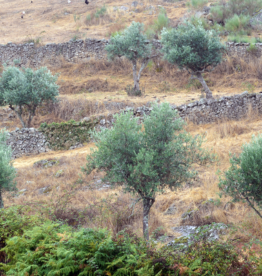 Muros e oliveiras