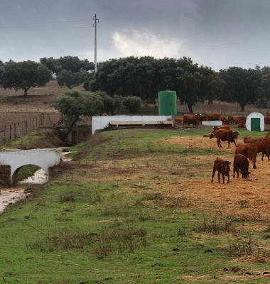 Vacas junto a linha de água