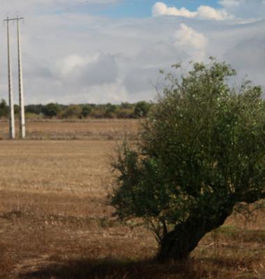 Oliveira e postes