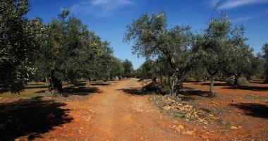 Vegetação autóctone: oliveiras